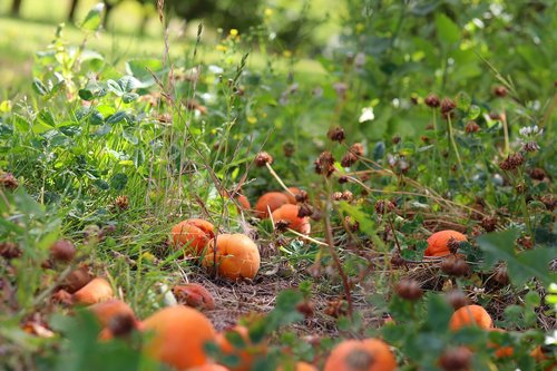 fruit  apricots  nature