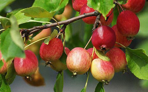 fruit nature apples