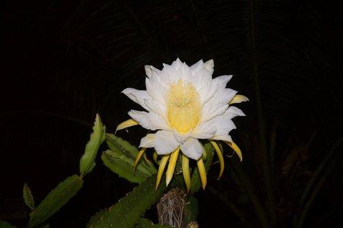 fruit  pitaya  tropical