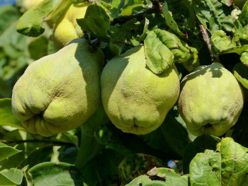 fruit quince autumn