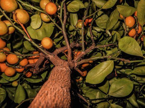 fruit fruits tangerines