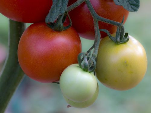 tomatoes vegetables tomatenrispe