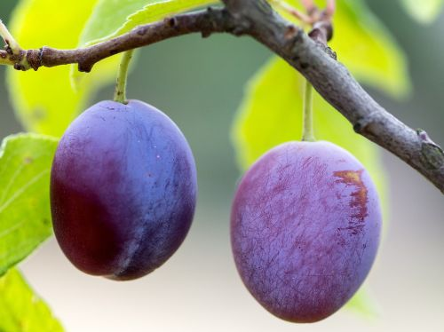 fruit plums ripe