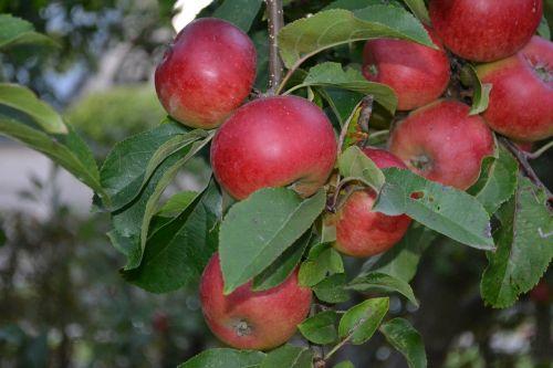 fruit fruits apples
