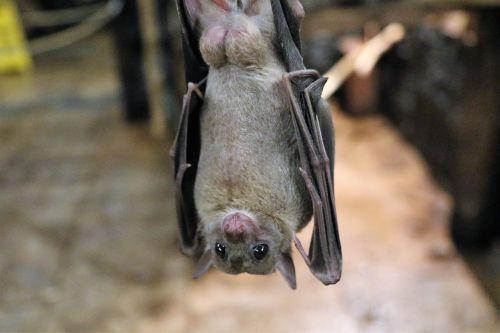 fruit bat bat fruit