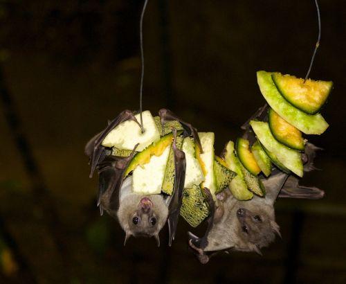 fruit bat bat jungle