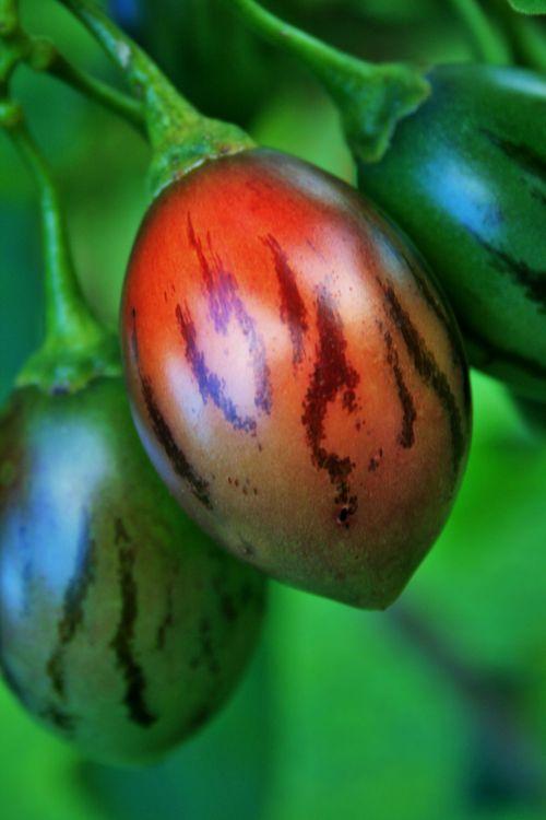 Fruit Of Tree Tomato