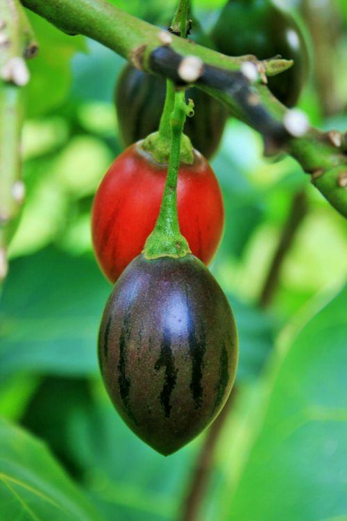 Fruit On Tree Tomato