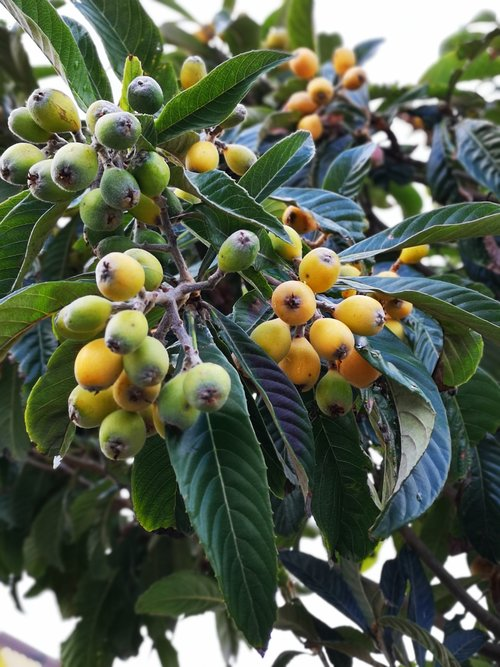 fruit tree  luquats  edible