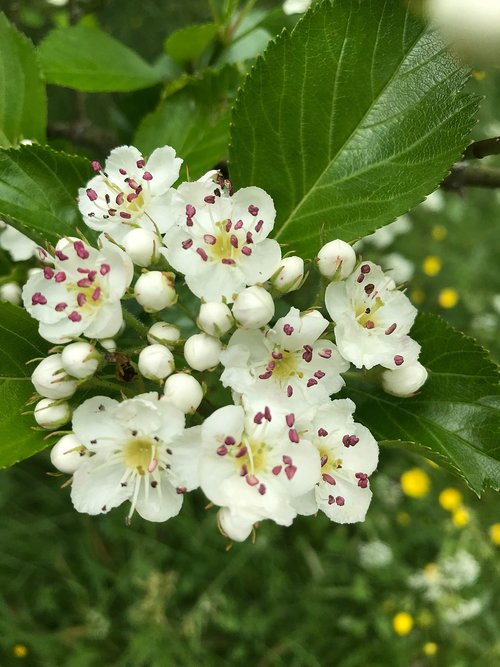 fruit tree blossoming  white  spring