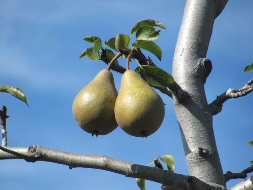 fruits pears pear