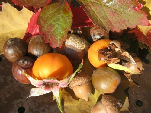 fruits acorns emerge