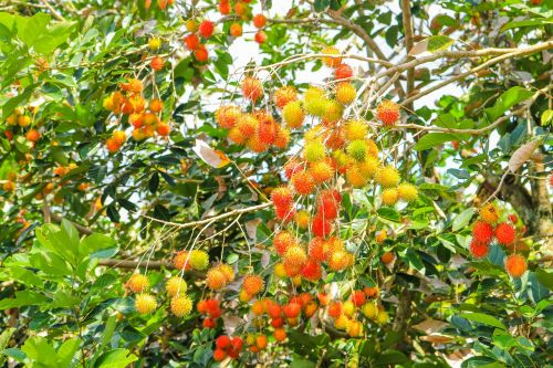 fruits rambutan fresh