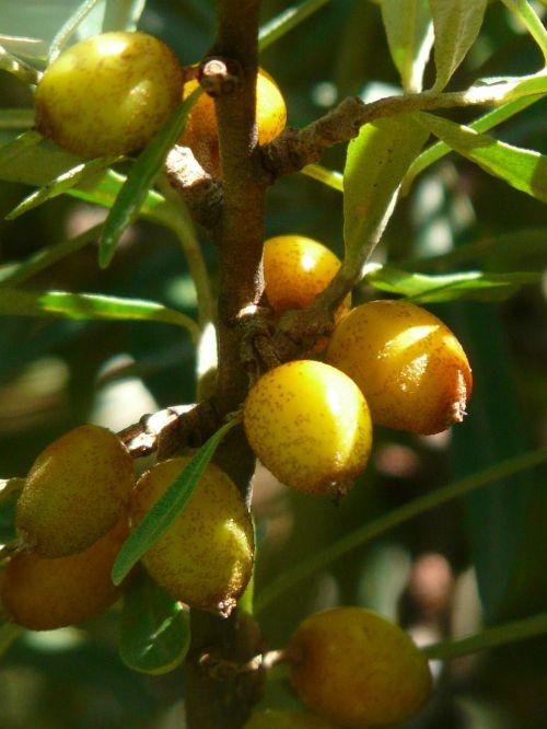 fruits berries sea buckthorn