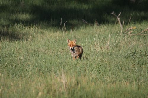 fuchs red fox vulpes vulpes
