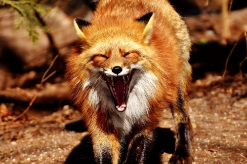 fuksas,žiovulys,juokinga,laukinis gyvūnas,pavargęs,dantis,pėdos,plėšrūnas,gyvūnas,gyvūnų pasaulis,gyvūnų portretas,laukinių gyvūnų parko poing