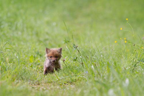fuchs young fox wild animal