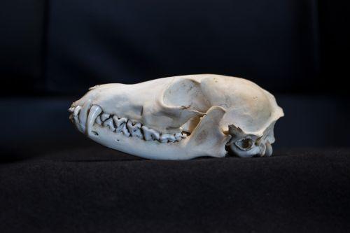 fuchs fox skull skull