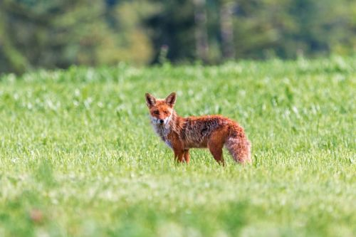 fuchs red fox little fox