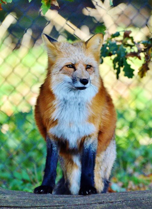 fuchs red fox predator