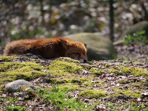 fuchs  concerns  wild animal