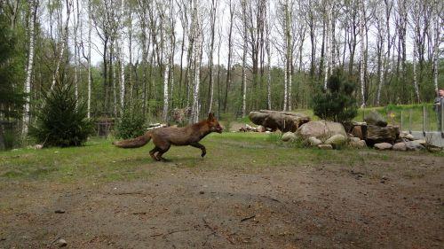 fuchs forest animal