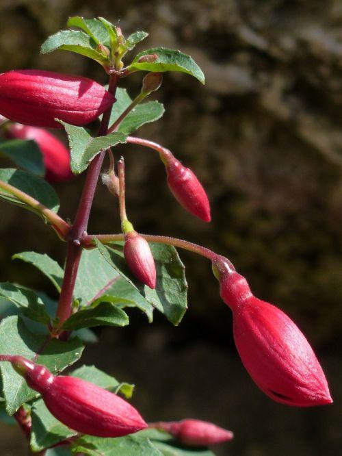 fuchsia bud red