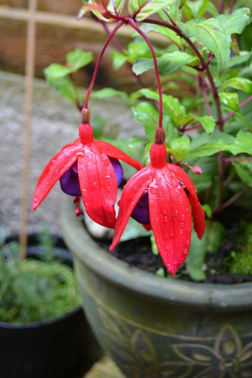 fuchsia potted plant woody