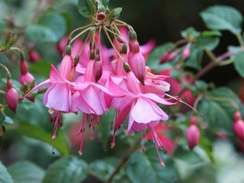 fuchsia  pink  flowers
