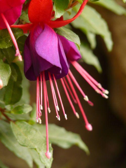 fuchsia,evening primrose greenhouse,ornamental plant,container plant,balcony plant,sepals,petals,red,purple,flower stalks,ovary,plant,flower,flora