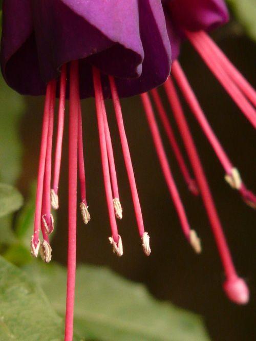 fuchsia,evening primrose greenhouse,ornamental plant,container plant,balcony plant,petals,red,purple,flower stalks,ovary,plant,flower,flora
