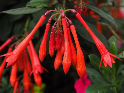fuchsia triphylla flowers red