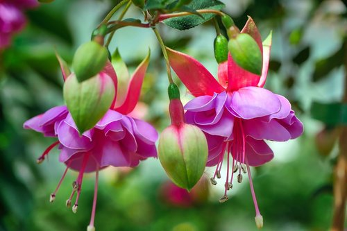 fuchsia wind chime  flower  fuchsia