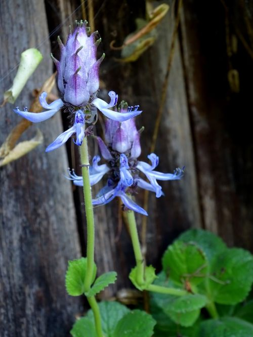 fuck-you-plant,plectranthus caninus,katinas panika,plectranthus ornatus,arfa krūmai,lamiaceae