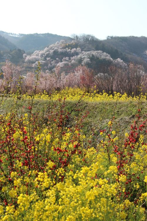 fukushima cherry blossom viewing mountains rape blossoms