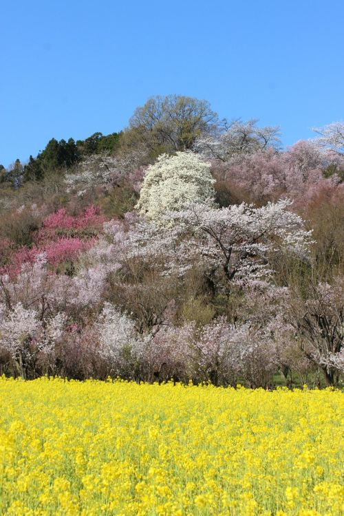 fukushima cherry blossom viewing mountains cherry