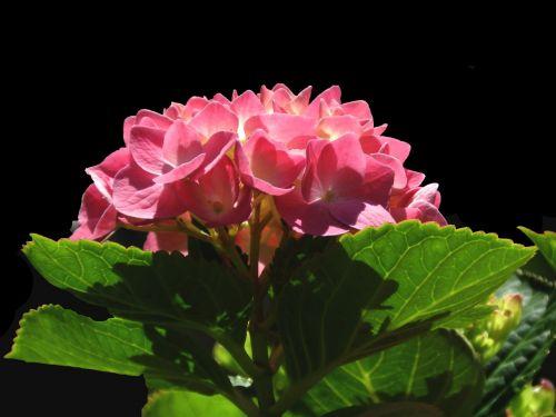hydrangea full bloom bloom