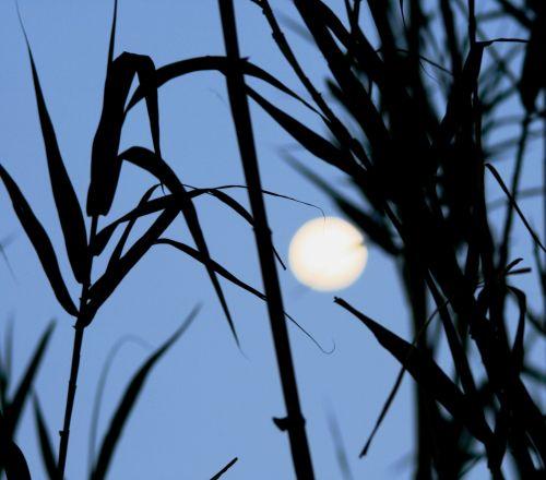 Full Moon Through The Reeds