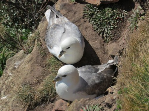 fulmars seabird nesting