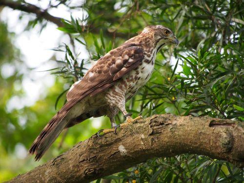 fung head goshawk eagles raptor