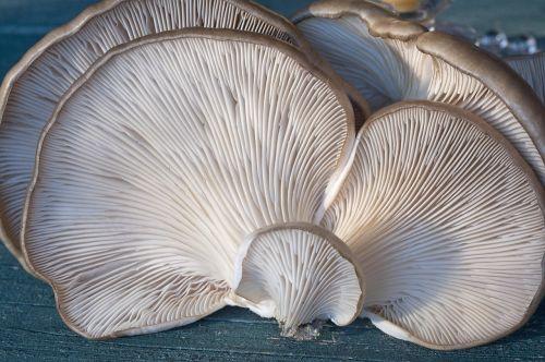 fungi oyster mushroom