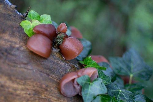 fungi  auricularia auricula-judae  jew's ear