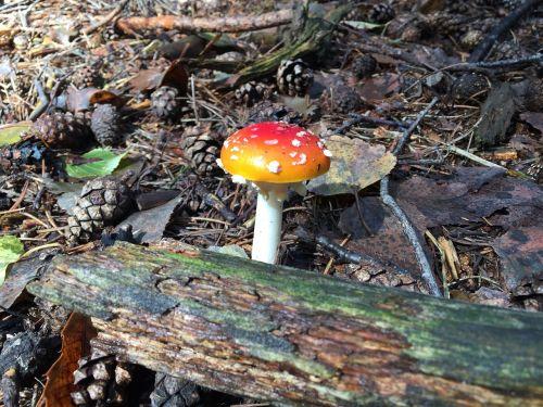 fungus amanita forest