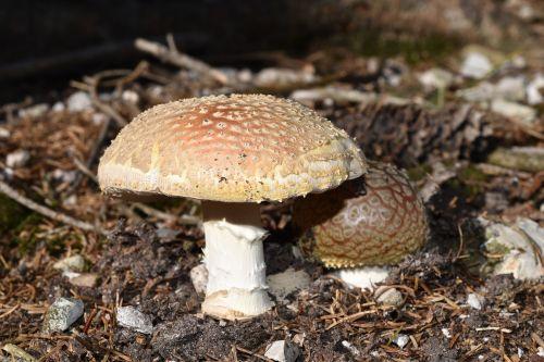 fungus amanita muscaria amanitas