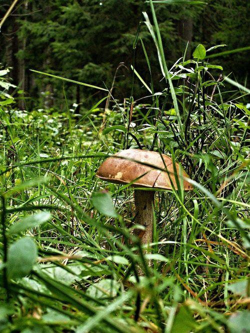 fungus brown cap boletus grass