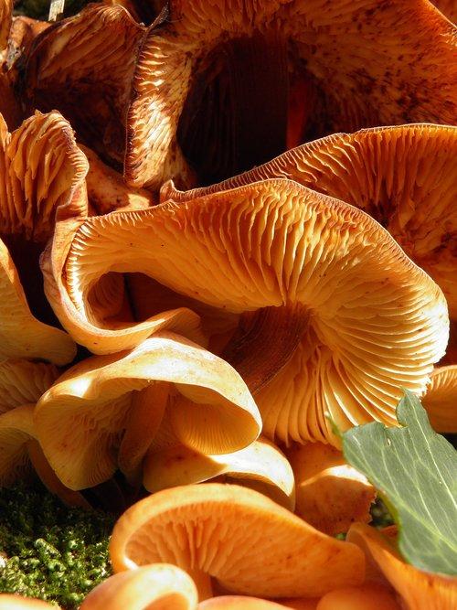 fungus  toadstool  honey fungus
