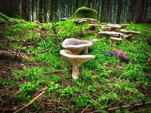 funnel-ling mushroom hexenring