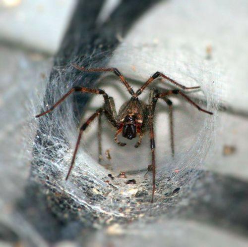 funnel spider arachnophobia arthropod