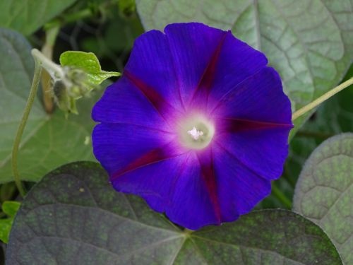 funnel thread morning glory climber