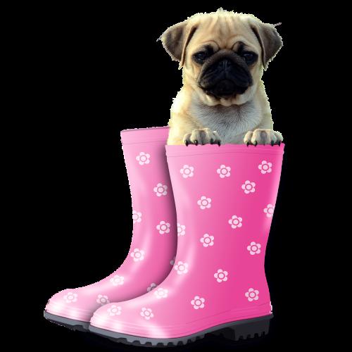 funny pug dog
